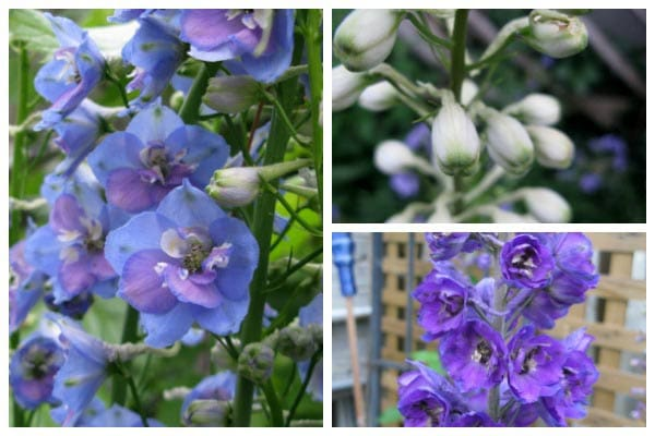 Some plant seeds are difficult to germinate even though they are fresh and viable. This trick works particularly well for delphiniums which benefit from a cold chill before sprouting.