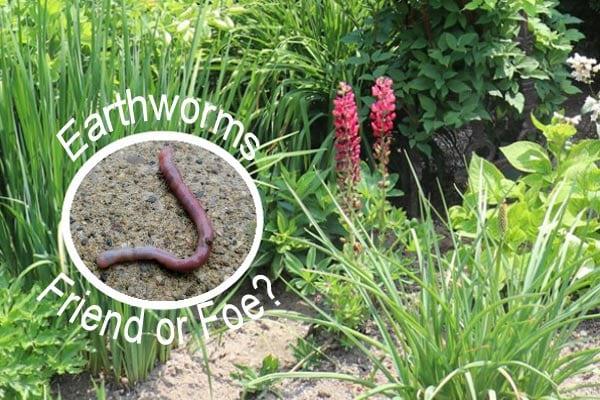 Earthworm in the garden.