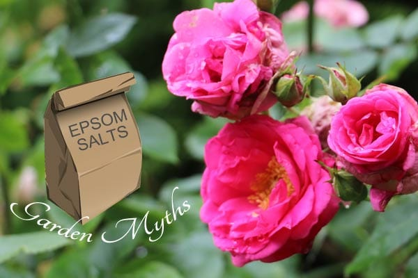 Are Epsom salts truly good for the garden? Find out if this is a garden myth.