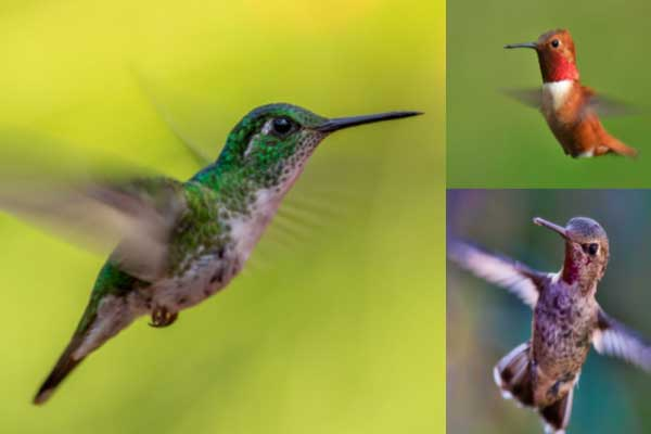Hummingbirds in flight.