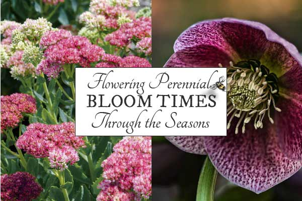 Flowering perennial bloom times through the seasons
