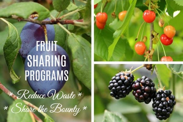 Join a local fruit sharing program to decrease food waste and share the bounty.