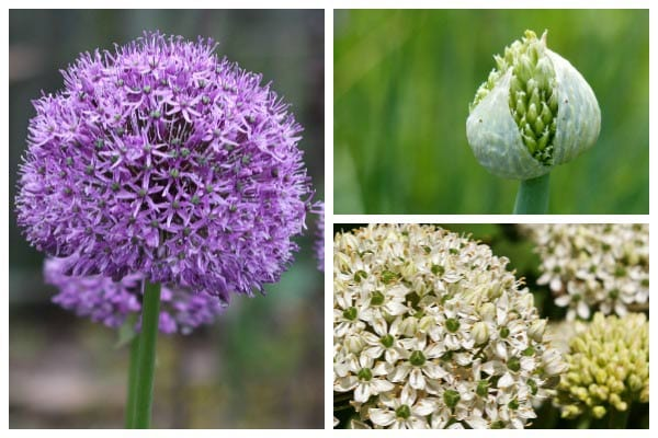 Allium Growing Tips