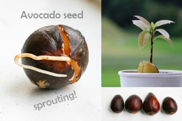 How to Grow an Avocado from Seed | Easy Method