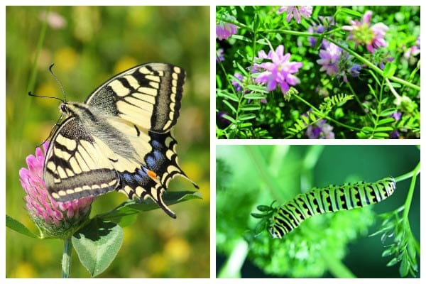 Want Butterflies? Grow These Host Larval Plants