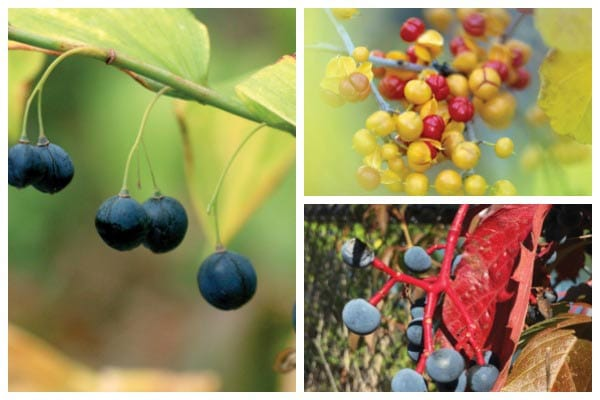 Poisonous berries are quite common in gardens. Find out which plants including bushes and vines have toxic berries. Some people are surprised to learn that not all poisonous berries are red! Photos are included for easy identification.