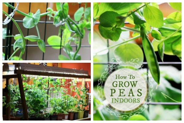 How to grow peas indoors in your home.
