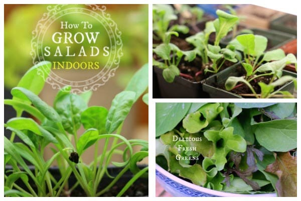 How to grow delicious, fresh salad greens indoors at home.
