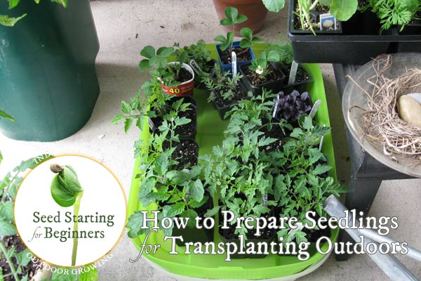 How to Prepare Indoor Seedlings for Transplanting Outdoors