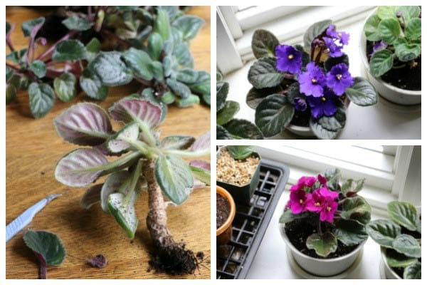 How to repot African violets and keep them healthy and blooming.