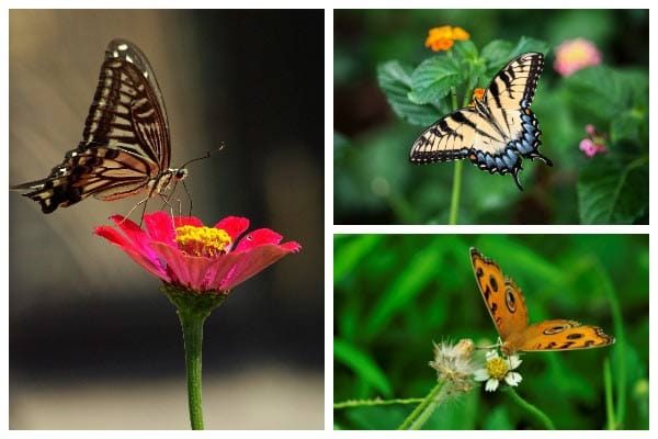 Need help identifying butterflies? These quick tips show how to recognize the differences between various groups of butterflies.