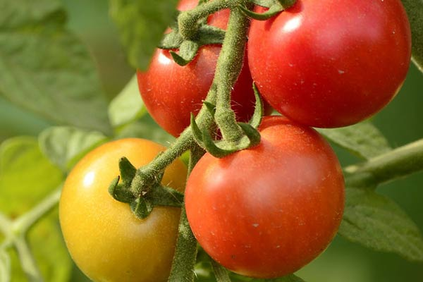 How to Grow Tomatoes for Beginner Gardeners