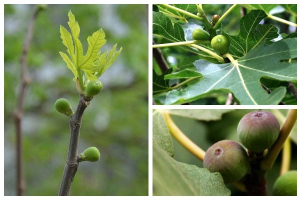 How to Overwinter Potted Fig Trees in a Cold Climate