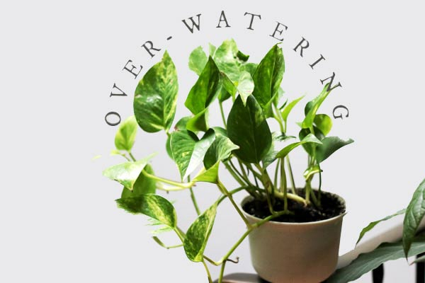 How to tell if you are overwatering your plants.