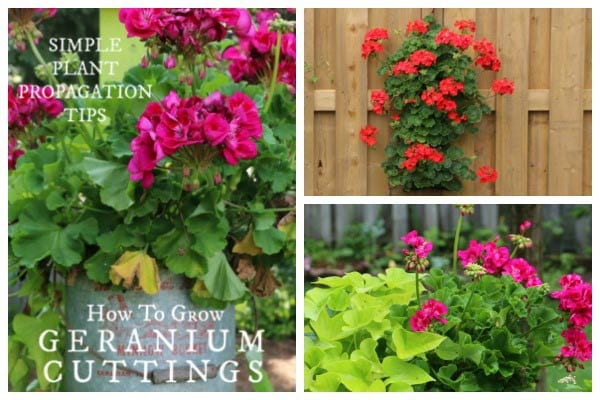 How to Take Cuttings from Geraniums (Pelargoniums)