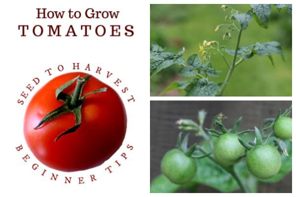 5 Best Tomato Growing Tips for Beginners