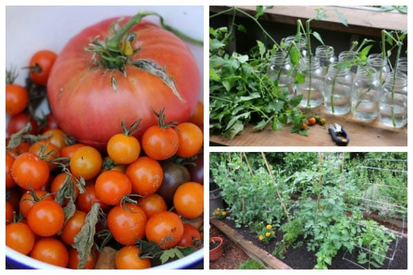 How and when to prune tomato plants.