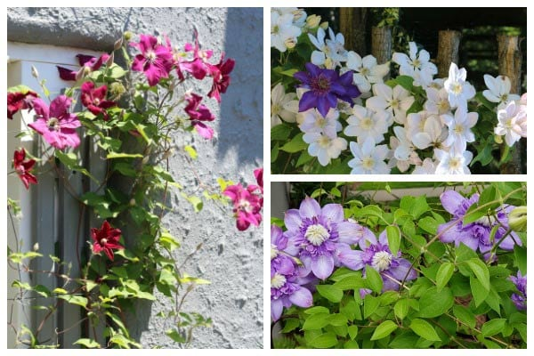 Type of clematis and how to identify your vine.