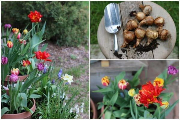 Using natural signs and signals to know when to plant bulbs in fall.