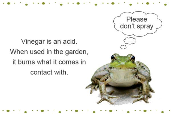 Vinegar is an acid. When used in the garden, it burns what it comes in contact with including frogs, toads, and more. Use with caution.