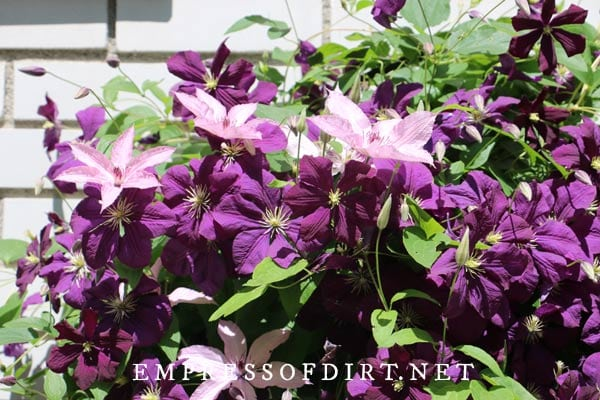 Keep on top of watering for the first full year after planting clematis.