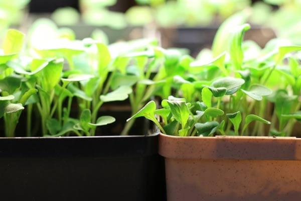Grow an Indoor Kitchen Garden