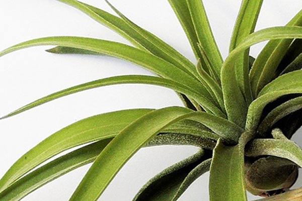 How to Grow Air Plants ~ Tillandsias