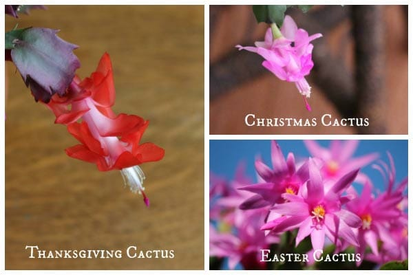 Christmas Cactus Blooming.Christmas Cactus Yearly Care And Bloom Tips Empress Of Dirt