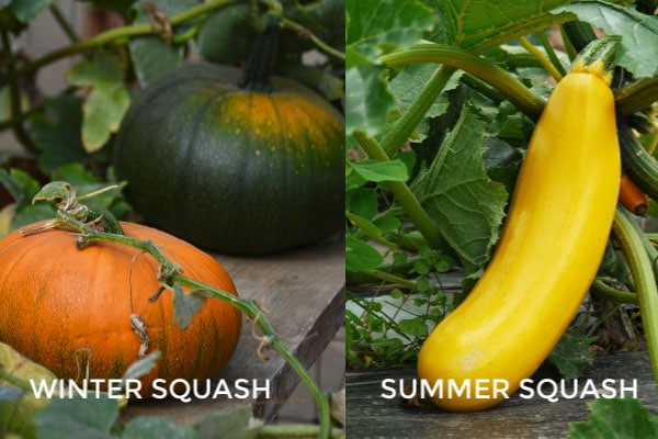 Examples of winter and summer squashes.