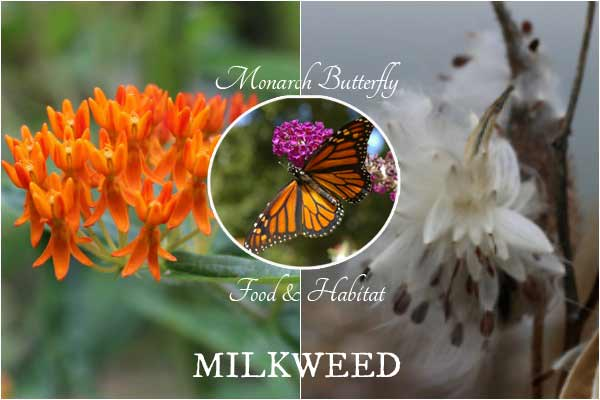 How to Collect and Grow Milkweed Seeds | Asclepias
