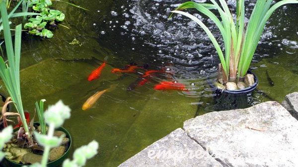Goldfish in a small garden pond with aquatic plants.