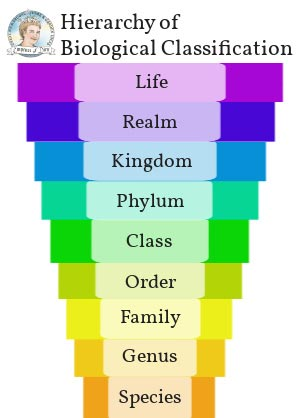 The hierarchy of biological classification system.