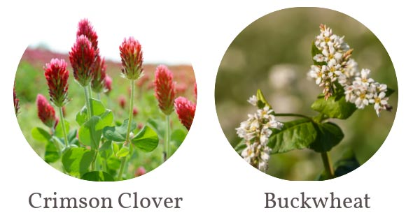 Crimson clover flowers and buckwheat in bloom.