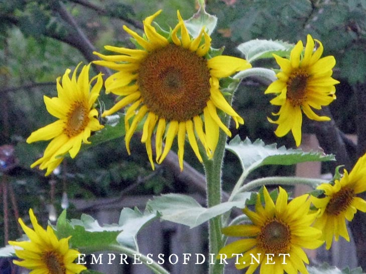 Multi-head sunflower with yellow flowers.