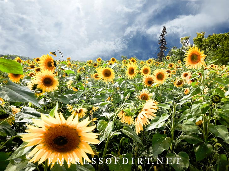 Masses of yellow sunflowers growing in a field with dramatic clouds above.
