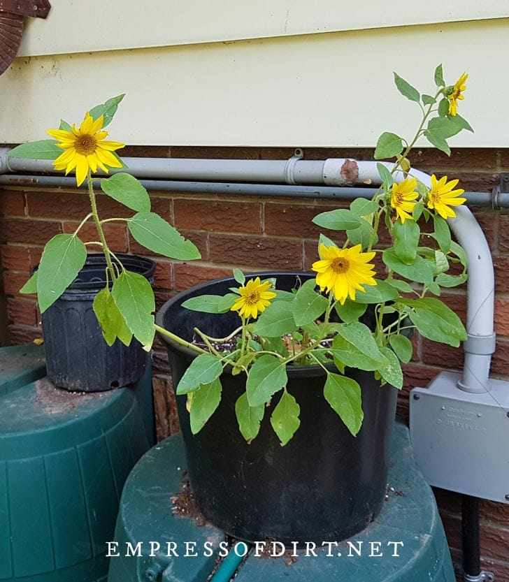 Sunflowers growing in containers.