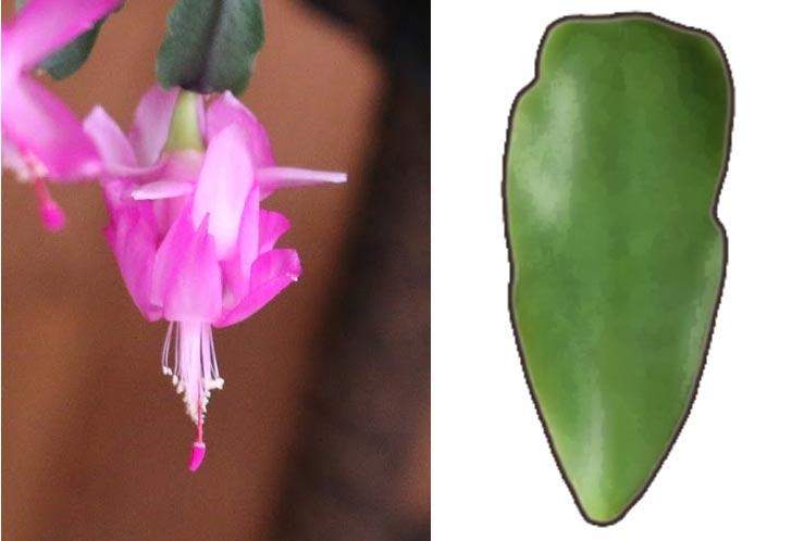 Schlumbergera x buckleyi | Christmas cactus
