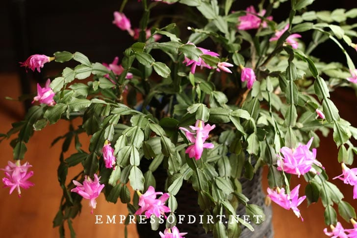 Large old Christmas cactus with lots of pink flowers.