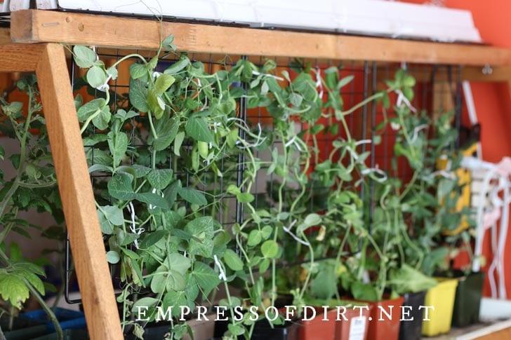 Peas growing indoors under grow lights.
