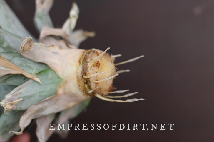Pineapple crown growing roots.