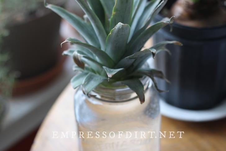 Pineapple crown rooting in water.