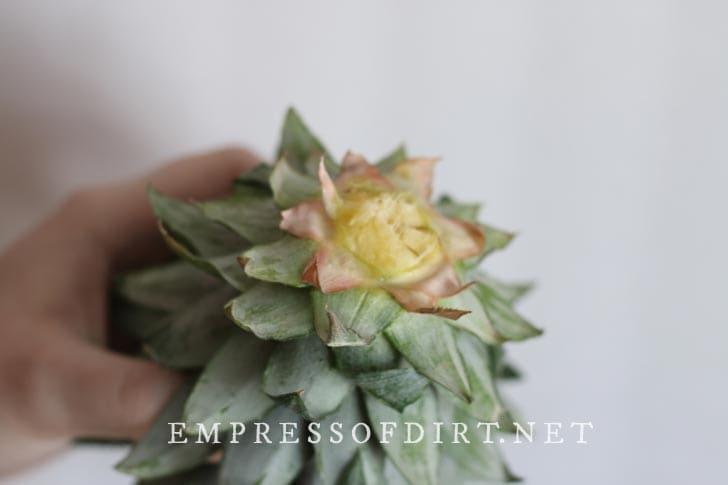 Pineapple crown.