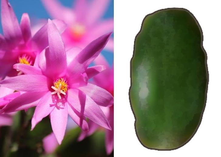 Rhipsalidopsis | Easter Cactus