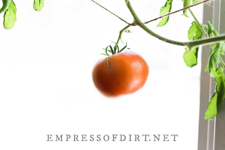 Tomato fruit growing indoors by window