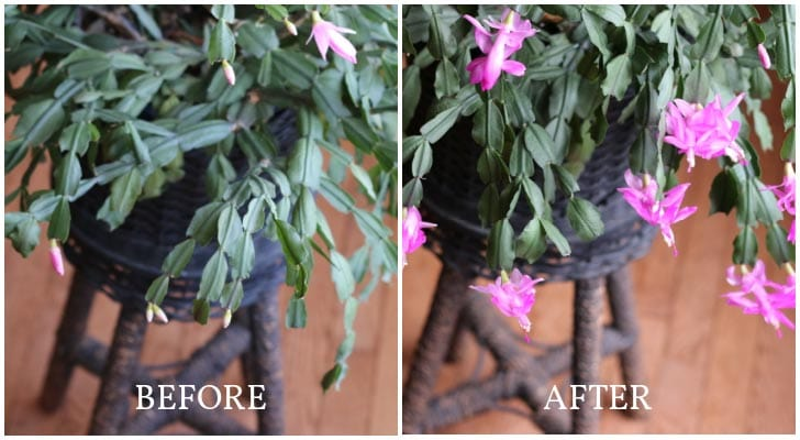 Christmas cactus plant before and after forcing bloom times.