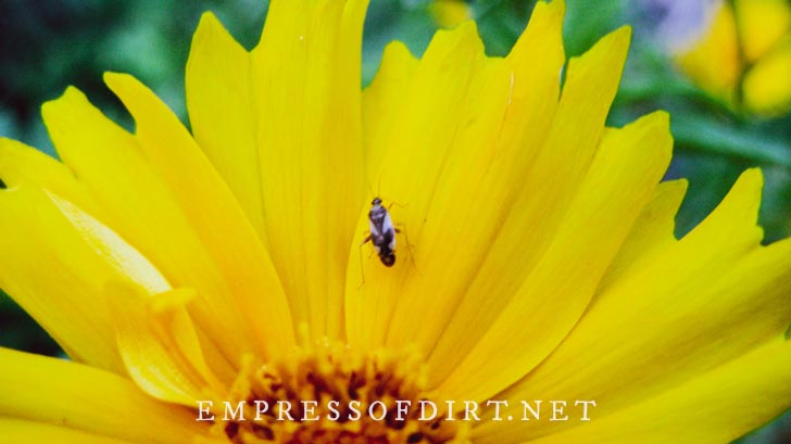 Insect on yellow sunflowers.
