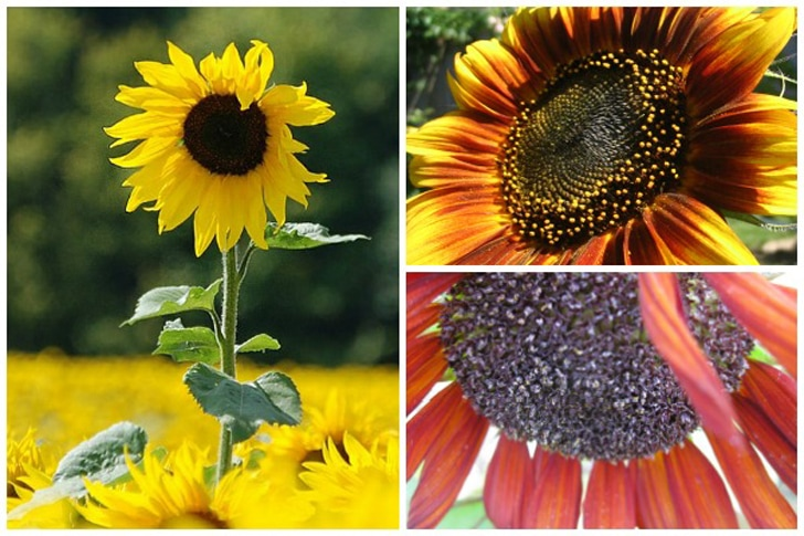 Three different sunflowers in the garden with yellow, orange, and red petals.