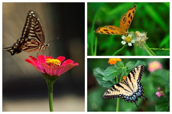 Want butterflies in your garden? Find out how to attract, nurture, and support them through their lifecycles.