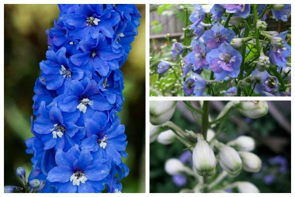 Tips for growing delphiniums: gorgeous, giant flowers, perfect for cottage-style gardens.