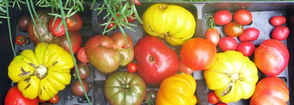 A variety of colorful tomatoes fresh from the garden.